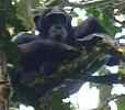 Chimpanzee looking down from tree